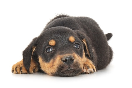 Baby puppy lying down against white background