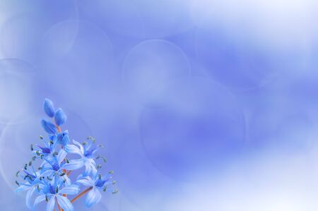 Siberian squill (Scilla siberica) on blue background