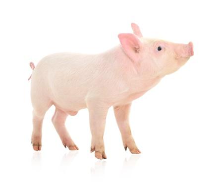 Schwein, das auf einem weißen Hintergrund dargestellt wird Standard-Bild - 14517749