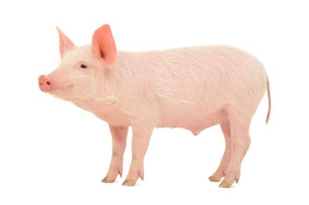 Schwein, das auf weißem Hintergrund dargestellt wird, Standard-Bild - 14517893