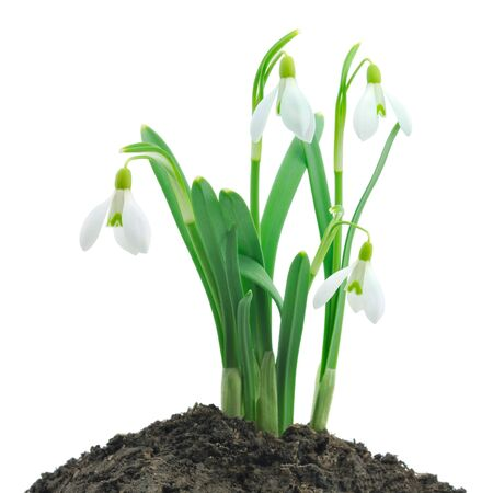 Spring snowdrop flowers bouquet isolated on white photo