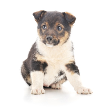 A little pup isolated on a white background. Stock Photo - 14517887