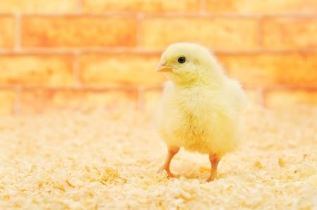 little chicken on a farm. photo