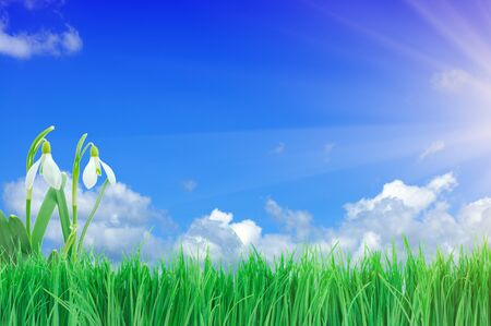 Snowdrop and green grass with bright cloudy sky photo