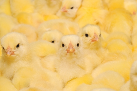 Große Gruppe von frisch geschlüpften Küken auf einer Hühnerfarm. Standard-Bild - 14517895