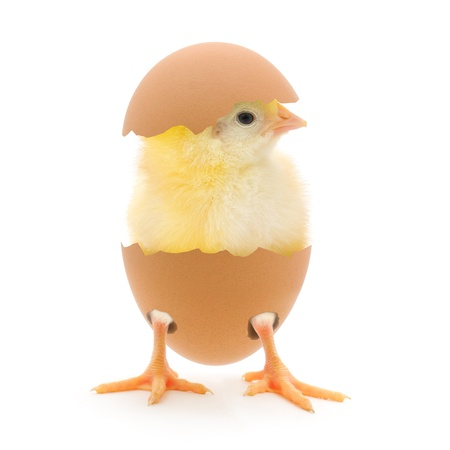chicken or egg: Chicken and an egg shell on white background Stock Photo