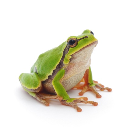 green tree frog: Small tree frog isolated on white background.