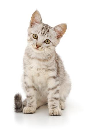 흰색 배경에 회색 고양이