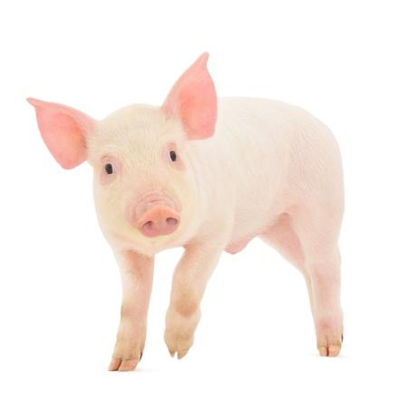 cerdos: Cerdo que se representa sobre un fondo blanco Foto de archivo