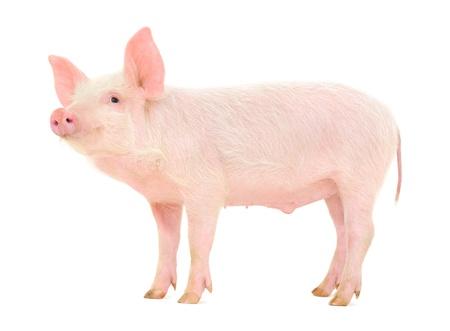 Pig, die auf weißem Hintergrund dargestellt wird Standard-Bild - 15845581