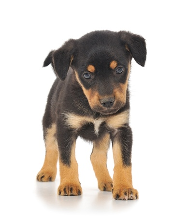 A little pup isolated on a white background.