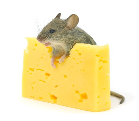 Cheese and grey mouse isolated on white. photo