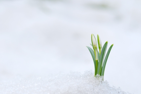 Snowdrop flower coming out from real snow 免版税图像