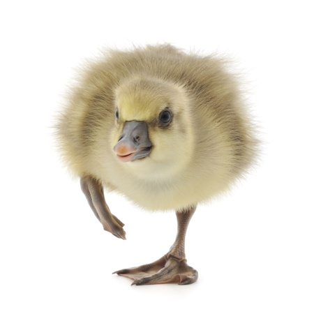 gosling: little gosling isolated on a white background