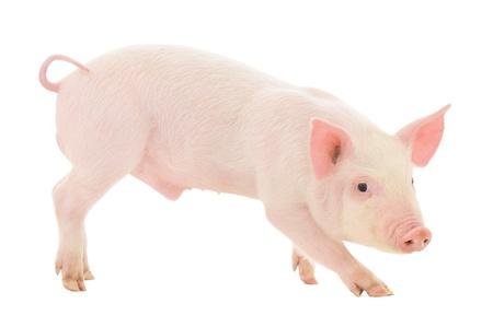 Schwein, das auf wei?em Hintergrund dargestellt wird, Standard-Bild - 20309615