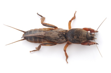 cricket insect: mole cricket isolated on a white background Stock Photo