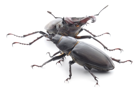 The male and female of rhinoceros beetle isolated on white. photo