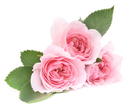 pink roses: Three beautiful pink roses on a white background  Stock Photo