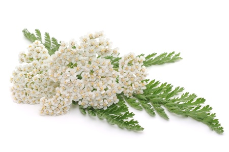 yarrow closeup - isolated on a white background Stock Photo