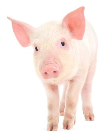 흰색 배경에 표현되는 돼지 스톡 콘텐츠