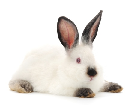 lapin blanc: Vecteur d'image d'un lapin blanc. Banque d'images