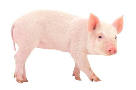 흰색 배경에 격리 돼지