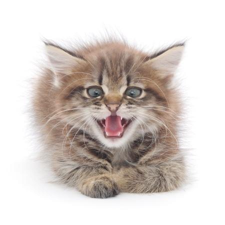 hissing: gattino sibilo di fronte a uno sfondo bianco. Archivio Fotografico