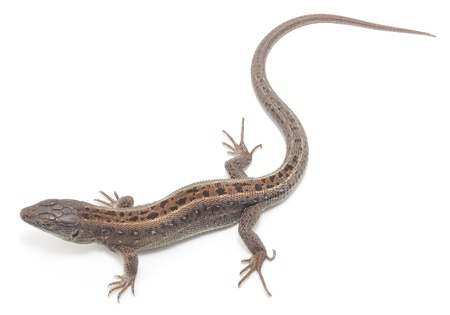 Brown lizard isolated on a white background.  photo