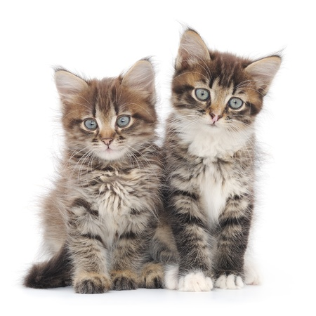 Two small Siberian kittens on white