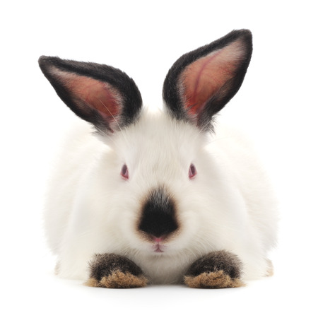 bunny rabbit: Isolated image of a white bunny rabbit.