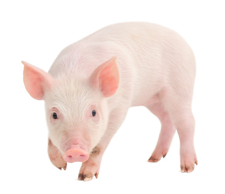 Pig who is represented on a white Imagens - 22547536