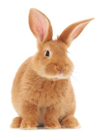 Geïsoleerde beeld van een bruin konijntje. Stockfoto