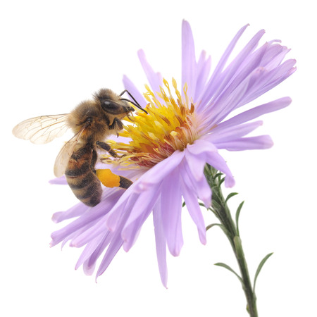 bee on white flower: Honeybee and blue flower head isolated on a white