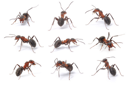 Collection of 9 brown forest ants on white background in different positions. 스톡 콘텐츠