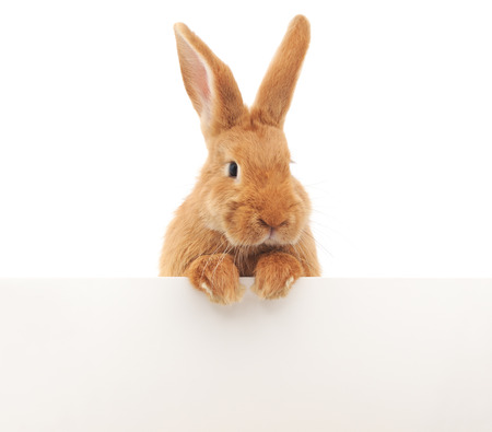 rabbit over blank sign, isolated on white