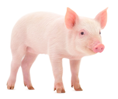 Pig who is represented on a white