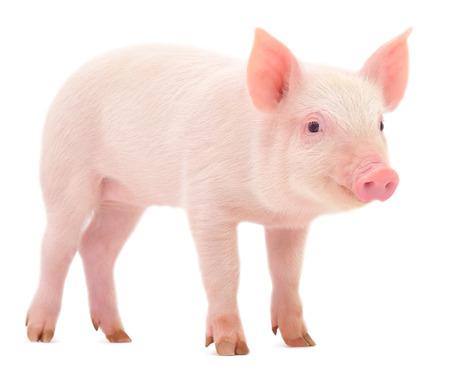 Schwein, das auf einem weißen dargestellten Standard-Bild - 23551852