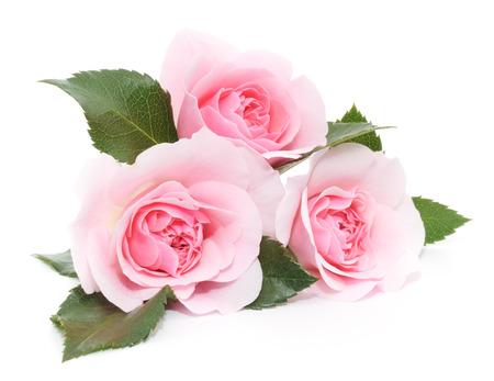 Drei schöne rosa Rosen auf einem weißen Standard-Bild - 24248481