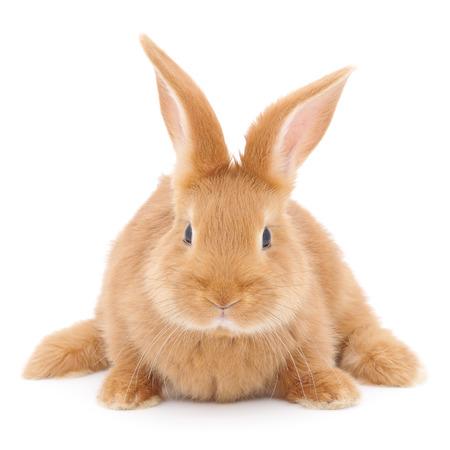 갈색 토끼 토끼의 고립 된 이미지입니다.