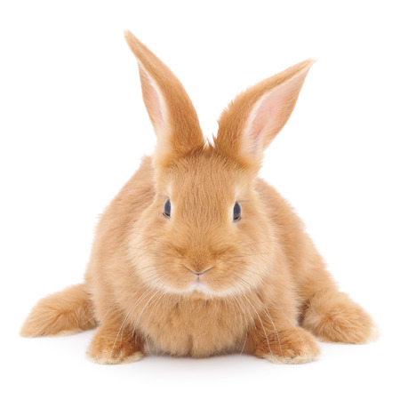 bunny rabbit: Isolated image of a brown bunny rabbit.