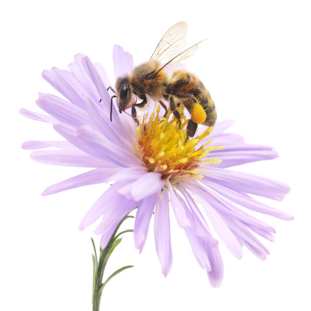 pollination: Honeybee and blue flower head isolated on a white background  Stock Photo