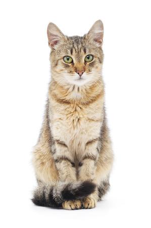Gestreepte bruine kat op een witte achtergrond