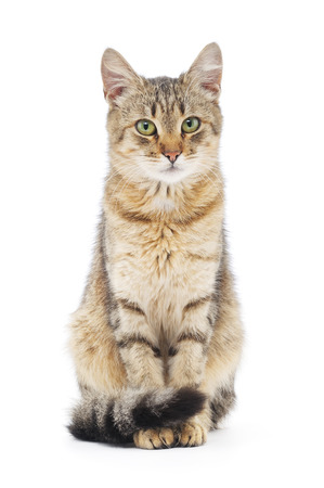 Striped brown cat on a white background