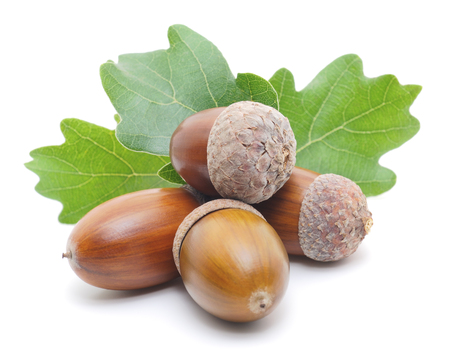 macro of four brown acorns with oak leaves  photo