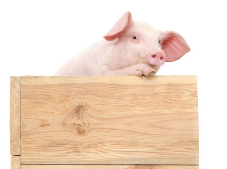 Pig in wooden box isolated on white background.