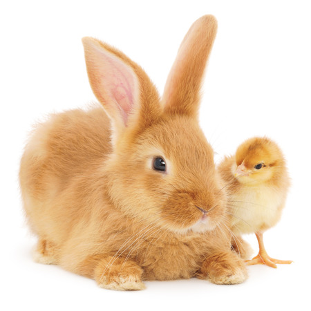 Rabbit and chicken isolated on a white background