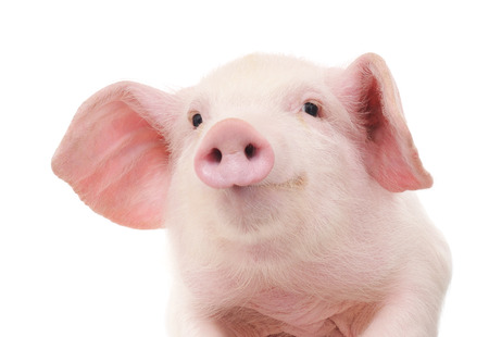 Portret van een leuke varken, op witte achtergrond Stockfoto
