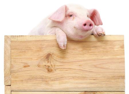 보드와 돼지 흰색 배경에 고립입니다.