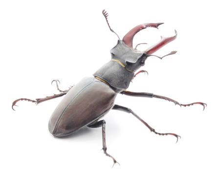 Male Reddish-brown Stag Beetle (Lucanus capreolus) isolated on white  photo