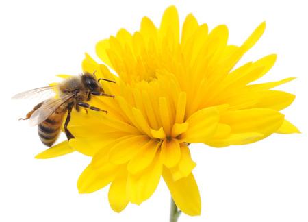 꿀벌과 노란 꽃 머리는 흰색에 고립